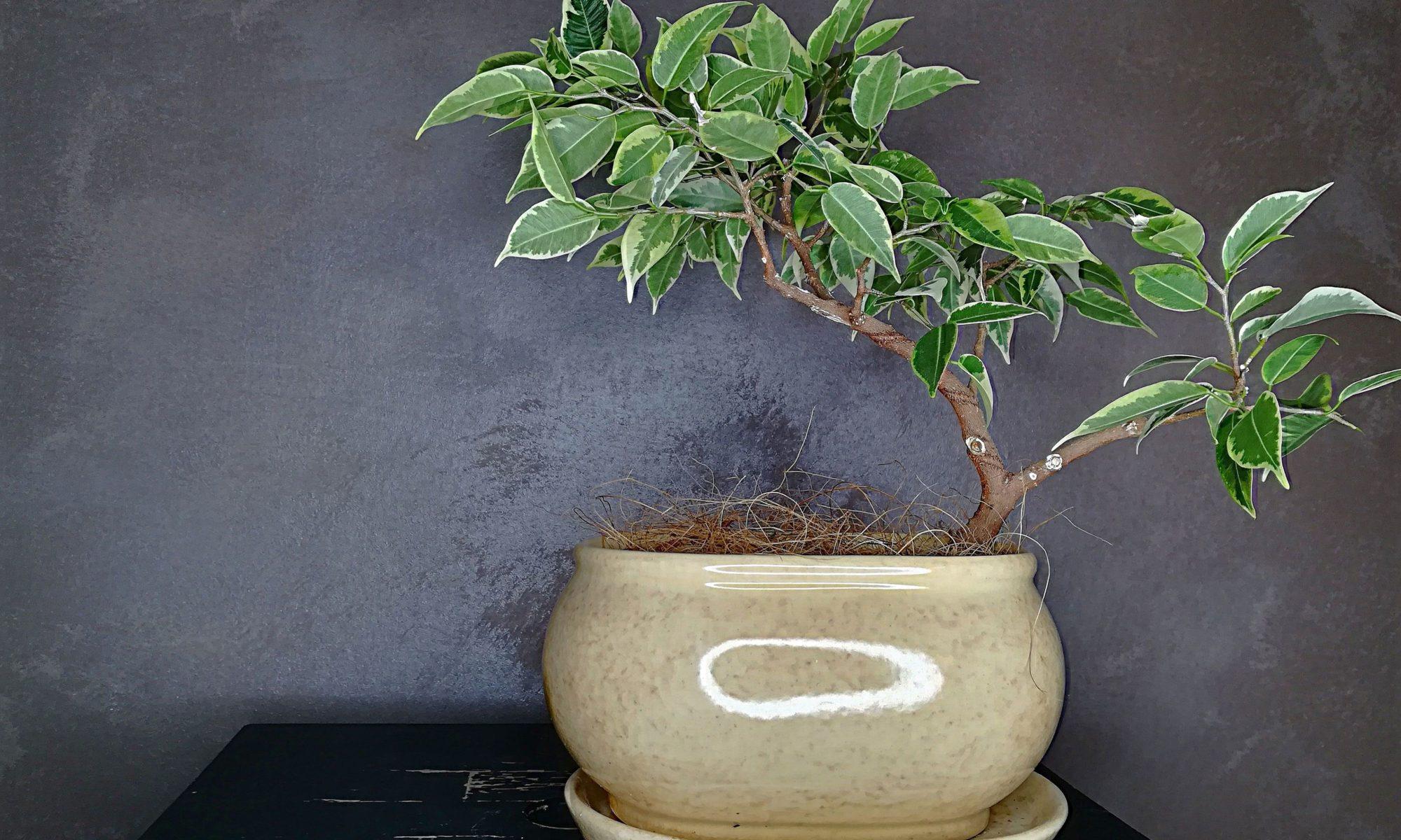 Figowiec benjamina w stylu bonsai
