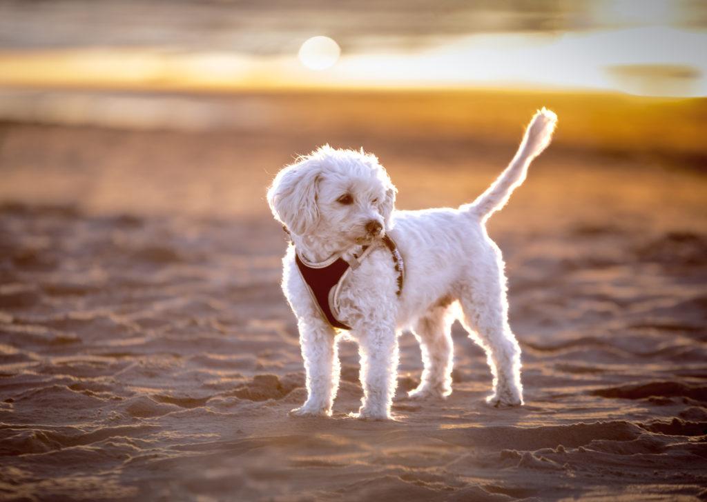 Hawańczyk pies